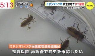 ミヤジマトンボ②